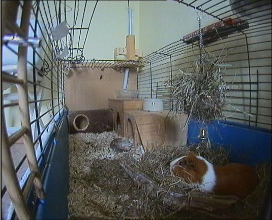 Live Streaming Guinea Pig Cage HD Webcam