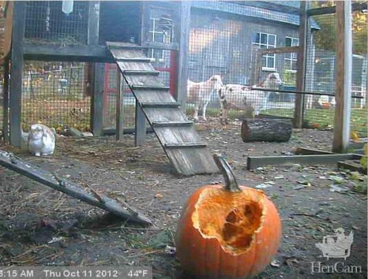 Live Streaming HD Hen Cam, United States