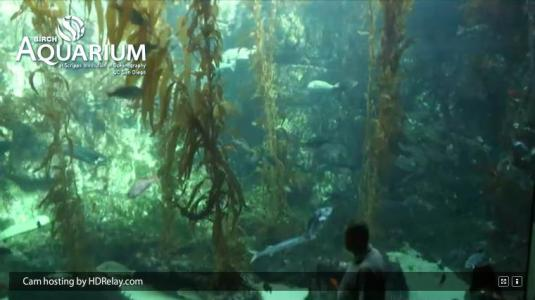 Birch Aquarium Live HD Streaming Kelp Aquarium webcam San Diego California
