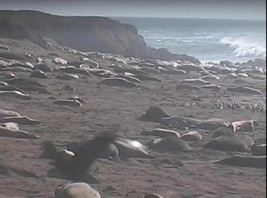 Elephant Seals Live Streaming Webcam San Simeon California