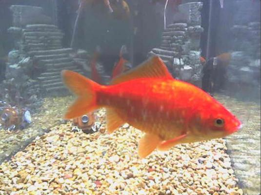 Goldfish Live Streaming Fish Webcam