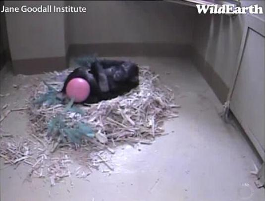 Live Chimpanzee Birth Webcam Jane Goodall Institute South Africa Chimpanzee Eden Sanctuary