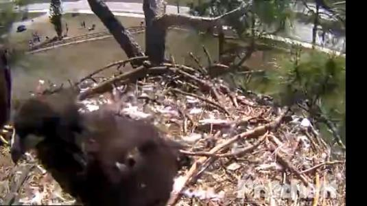 Live Bald Eagle Nest Eagle Cam North Fort Myers Florida