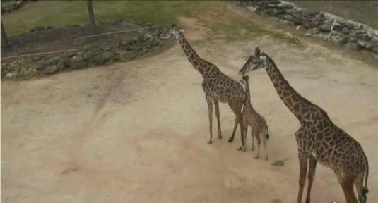Greenville Zoo Live Streaming Giraffes Zoo Webcam Greenville City