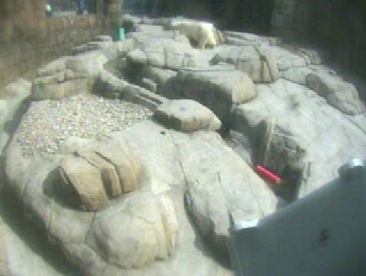 Pittsburgh Zoo and Aquarium Live Streaming Polar Bear Webcam