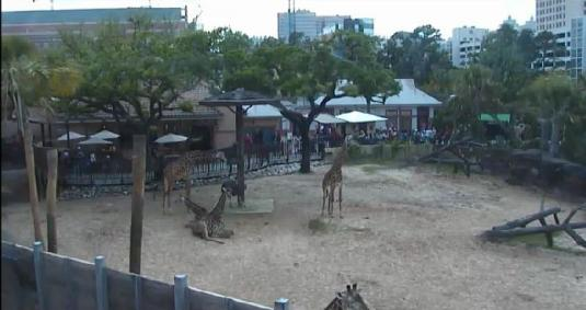 Live Giraffes Zoo Animal Webcam Houston Zoo Texas