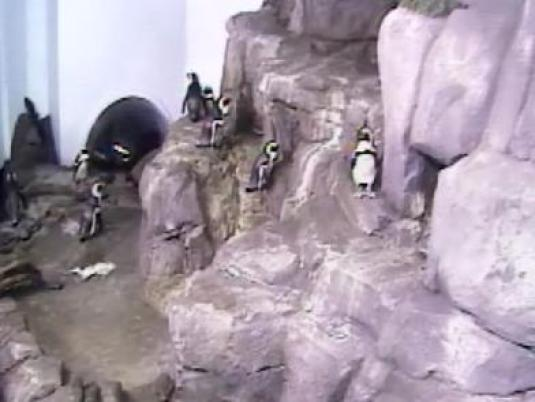 African Blackfooted Penquins Live Webcam Monterey Bay Aquarium California
