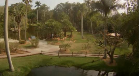 Sarasota Jungle Gardens Flamingos Live Streaming Webcam Florida