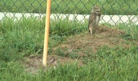 Burrowing Owls Live Streaming Birds Webcam Florida