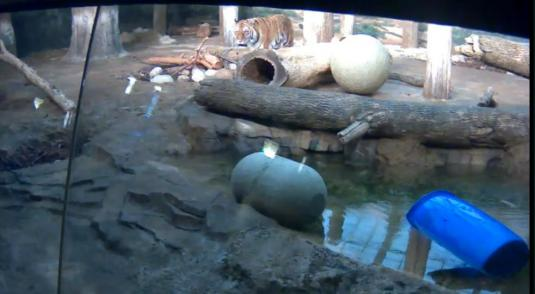 Siberian Tigers Live Zoo Animal Cam Milwaukee Zoo