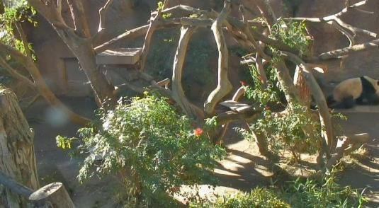 San Diego Zoo Live HD Streaming Pandas Webcam San Diego California