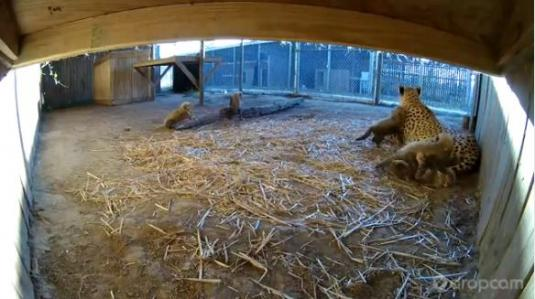 Cheetah Cubs Live Webcam Metro Richmond Zoo Virginia