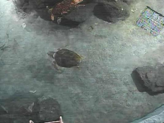 Loggerhead Sea Turtles Live Streaming Webcam Nagoya Aquarium Japan