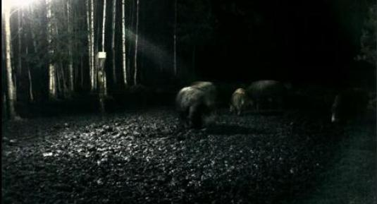 Wild Boar Streaming Animal Webcam Estonia