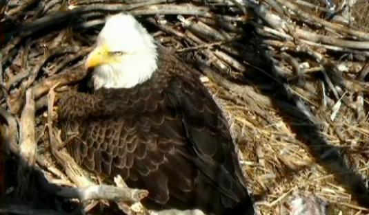 Bald Eagles Live Eagle Nest Streaming Webcam