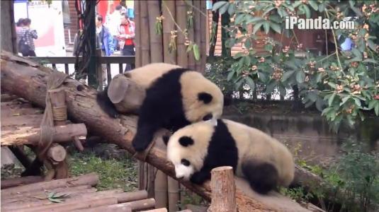 Chinese Pandas Live Streaming Broadcast Webcam Chengdu Pandas Research Centre China