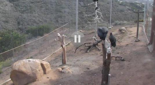 Condor Vulture Birds Webcam San Diego Zoo San Diego California