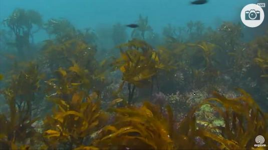 Anacapa Island Live Underwater Kelp Forest Fish Webcam
