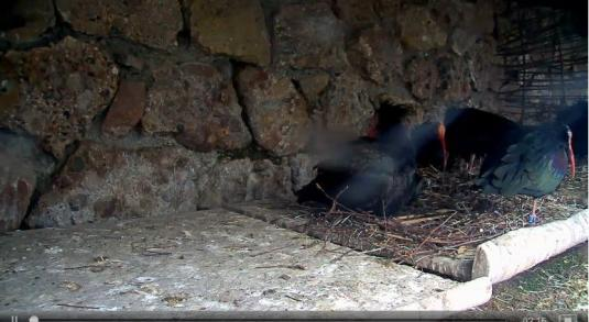 Goldau Zoo Waldrapp Birds Zoo Web Cam Goldau Switzerland