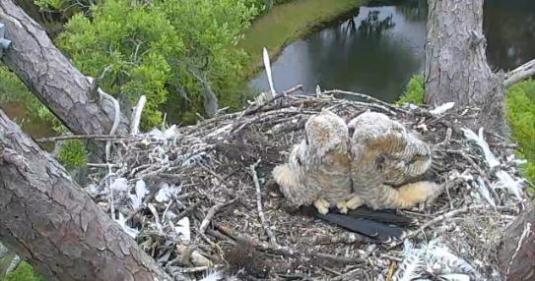 Savannah Great Horned Owls Nest Web Cam The Landings Georgia