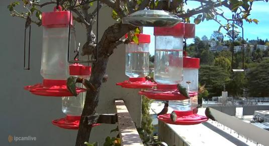 Hummingbirds Live Hummingbirds Feeder Web Cam Studio City Los Angeles California